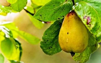 Чем полезны груши для мужчин и женщин