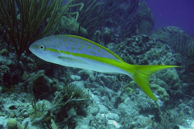 Belize?s Yellow Tail Snapper!!!   Fptravels's Blog