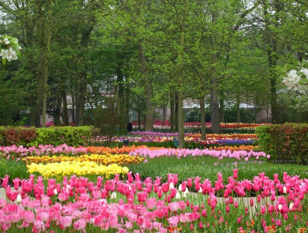 Flower beds of tulips at Keukenhof Gardens in the Netherlands.