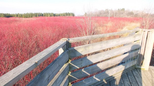 Marshland ablaze with Red Osier Dogwood - Lynde Shores Conservation Area, Whitby, Ontario