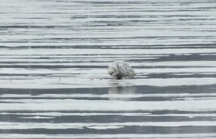 Snowy Owl - eating prey on ice - Frenchman's Bay - Ontario - Canada
