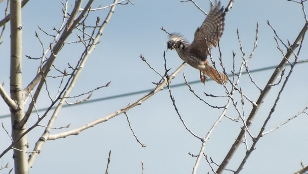Photo of an American Kestrel in flight holding a mouse in its peak.