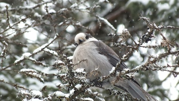 Gray Jay looks towards camera in Algonquin Park