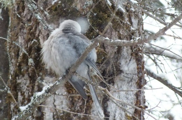 Gray Jay preening in tree in Algonquin Park