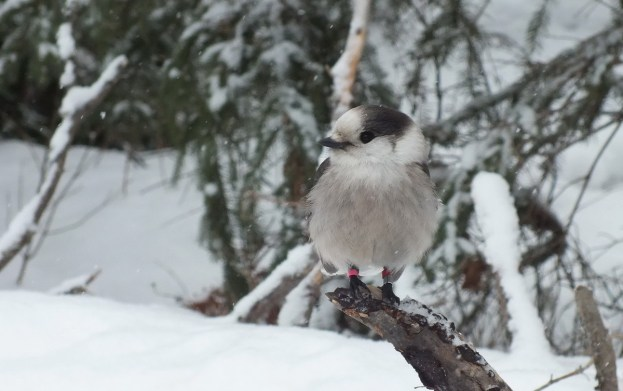 A gray Jay sits on a tree stump in winter, with white and pink banding tags in Algonquin Park, Ontario