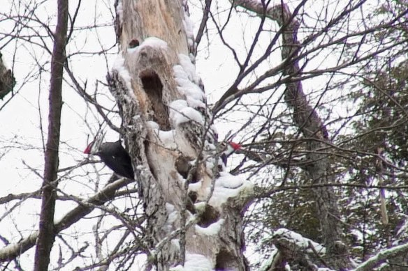 Two pileated woodpeckers on a tree near Oxtongue Lake - Ontario