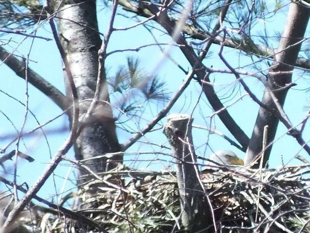 Bald Eagle extreme closeup sitting in nest - Cootes Paradise Marsh - Hamilton - Ontario
