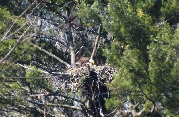 Bald Eagle feeds young - Cootes Paradise Marsh - Hamilton - Ontario