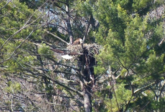Bald Eagle returns - Cootes Paradise Marsh - Hamilton - Ontario