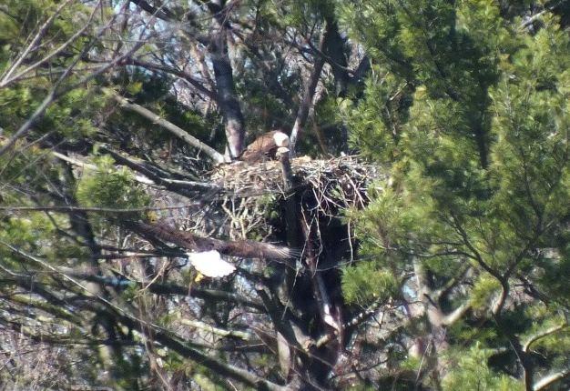 Bald Eagle returns back to nest - Cootes Paradise Marsh - Hamilton - Ontario