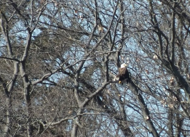 Bald Eagle sits in tree - Cootes Paradise Marsh - Hamilton - Ontario