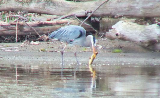 Great Blue Heron - grasps large fish - Cootes Paradise Swamp - Burlington - Ontario