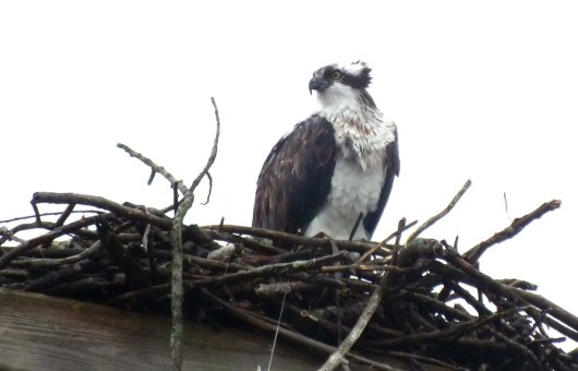 Osprey looks right in nest - Youngs Point - Ontario - Canada