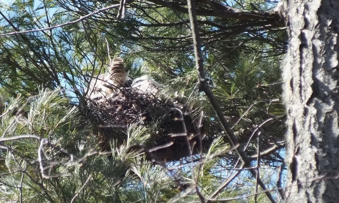 great horned owl chick beside mother - thicksons woods