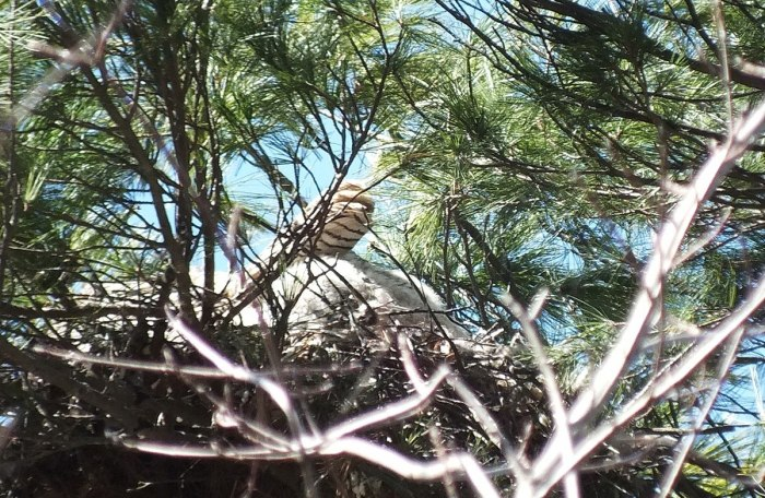 great horned owl mothers tail feathers in nest - thicksons woods