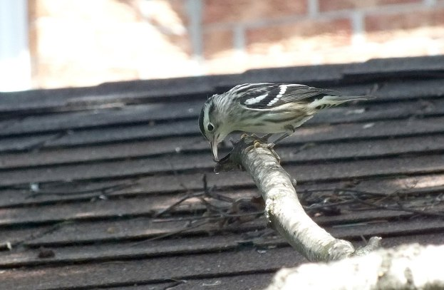 Black-and-white Warbler - looks down from tree - Frame To Frame Bob & Jean