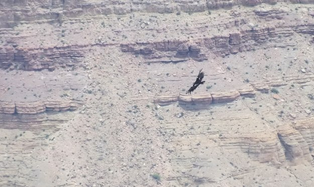 Condor soars above Grand Canyon