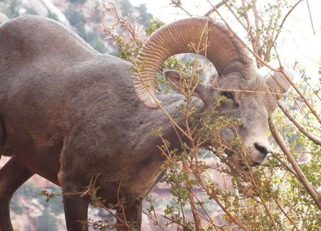 Close up of a Bighorn sheep eating from a bush at Grand Canyon National Park, Arizona, U.S.A.
