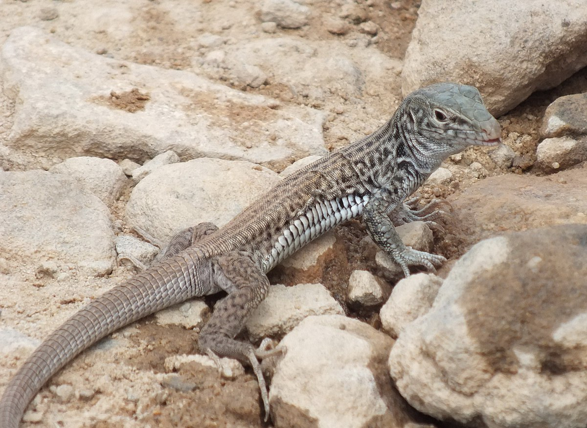 northern whiptail lizard - grand canyon 3