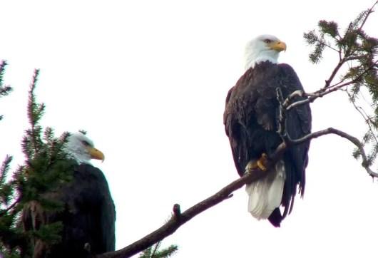 bald eagles at deep bay - british columbia 5