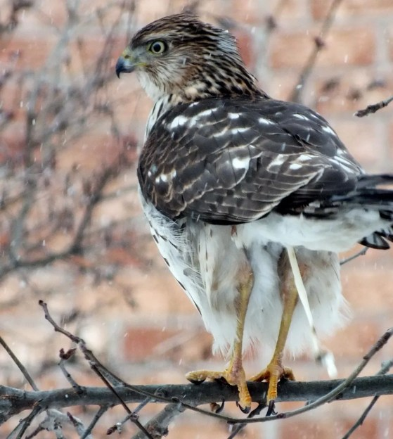 Sharp-shinned Hawk sums up his thoughts on the snowstorm in Toronto - Canada