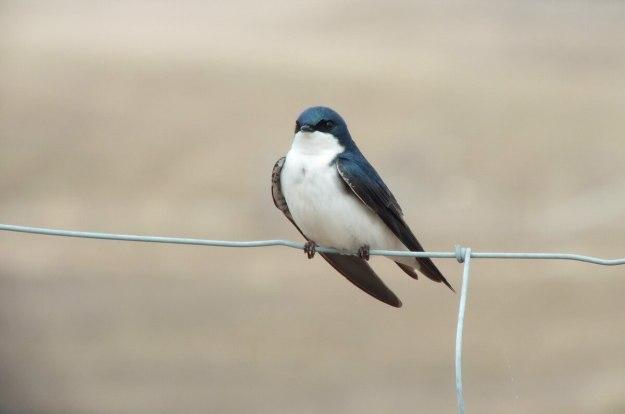 tree swallow near grass lake_cambridge_ontario 4