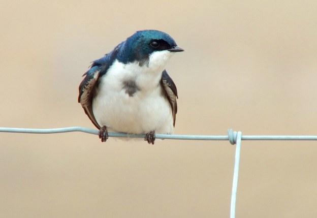 tree swallow near grass lake_cambridge_ontario 9