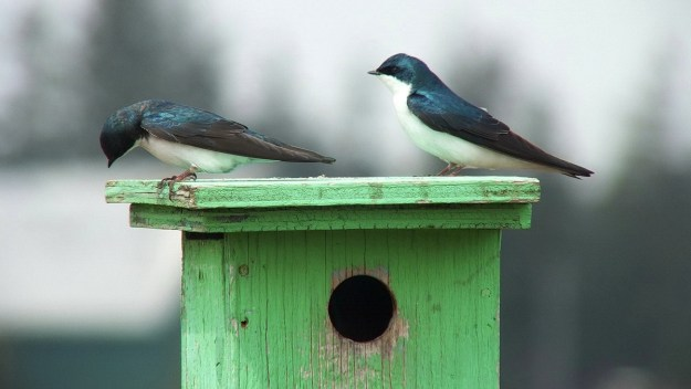 tree swallows near grass lake_cambridge_ontario 1