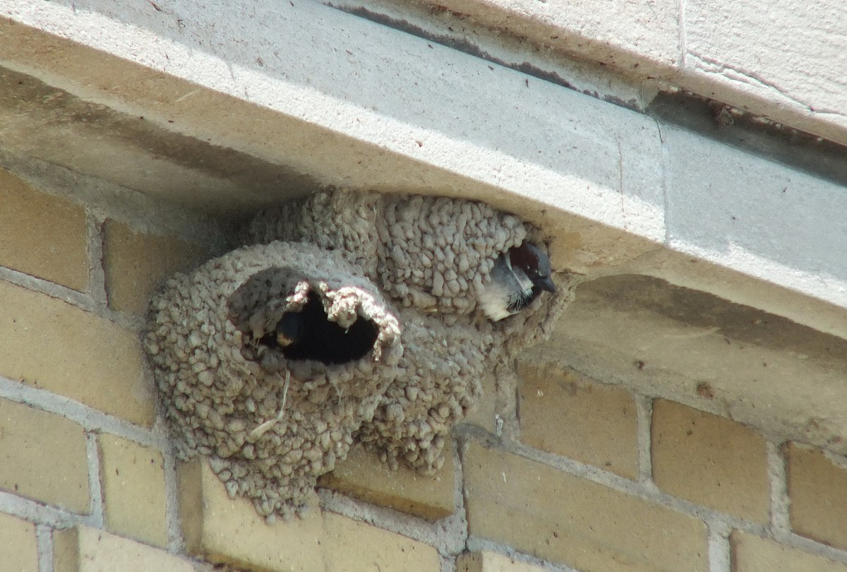 little further along the ledge, we see another nest that has been ...