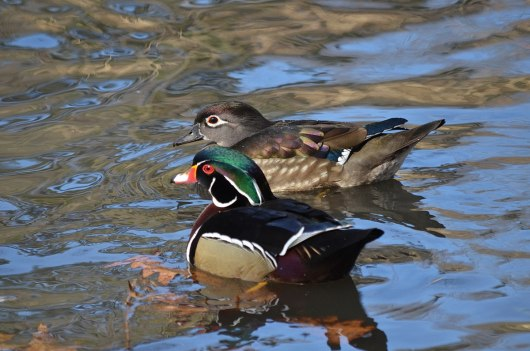 Wood Ducks at High Park in Toronto, Ontario, Canada