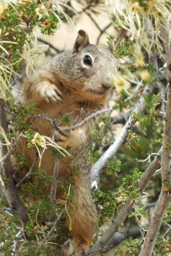 rock squirrel on the south rim at grand canyon national park, arizona