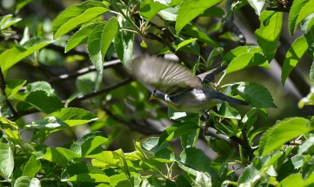 Photo of a Northern parula taking flight in Toronto, Ontario
