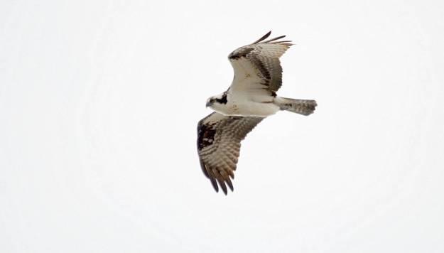 Osprey in flight at Carden Alvar, City of Kawartha Lakes in Ontario