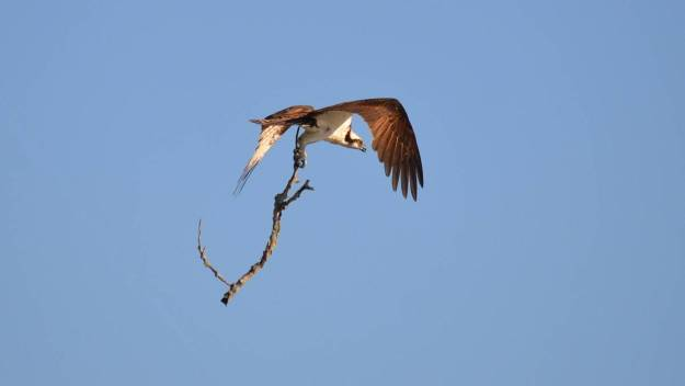 osprey with tree branch, carden alvar, ontario, pic 2