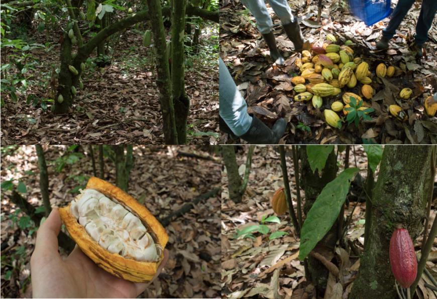 Översta bilden till vänster: Kakaofrukter i väntan på att bli mogna. Översta bilden till höger: Vår lilla kakaoskörd! Nedre bilden till vänster: En öppnad kakaofrukt. Nedre bilden till höger: En gul och röd kakaofrukt, ibland sker korsbefruktning. Foton: Tove Dahlbom