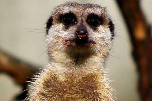 FreePhotosForCommercialUse.com, -cool animals-wild meerkat 894x893