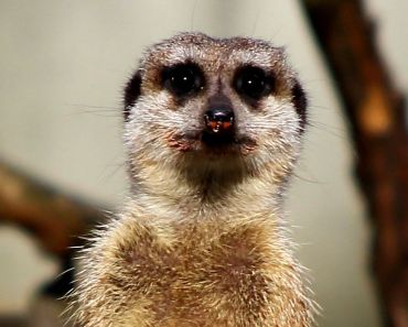 FreePhotosForCommercialUse.com, -cool animals-wild meerkat 894x893