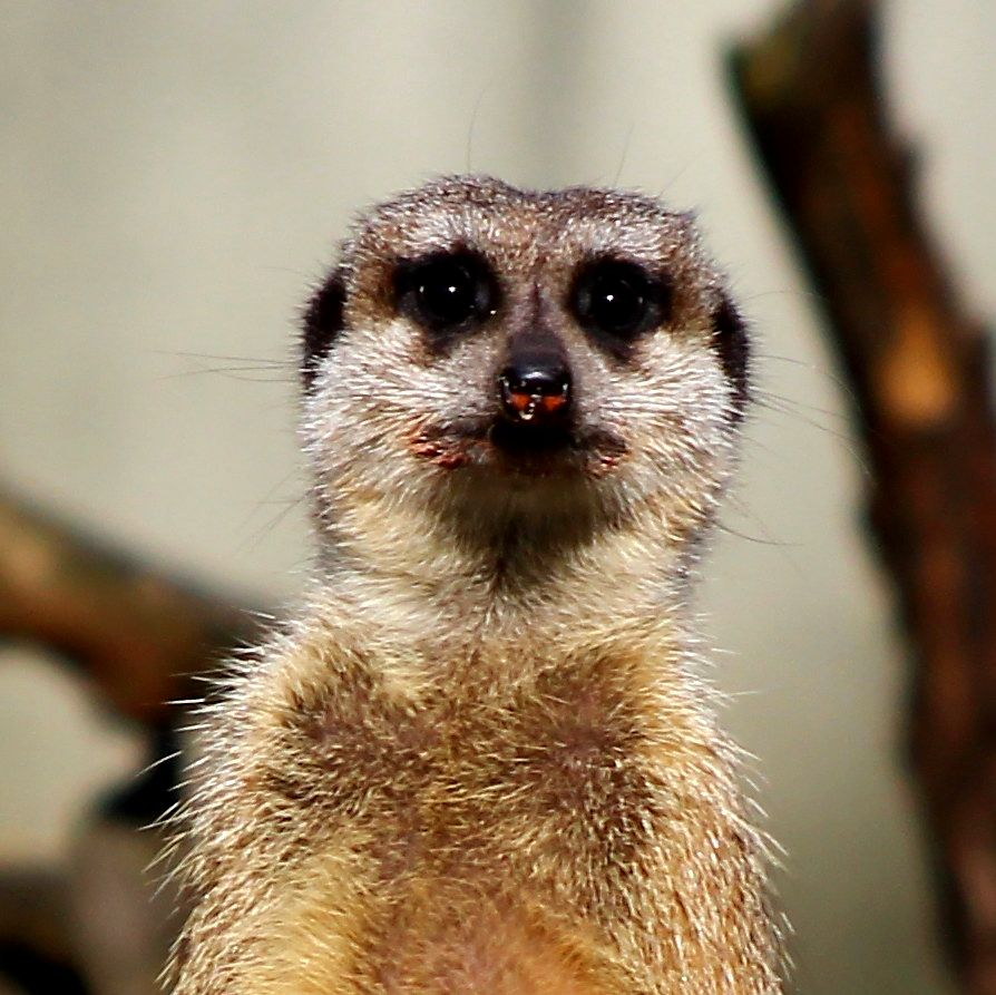 freephotosforcommercialuse.com- COOL ANIMALS-a picture of wild meerkat