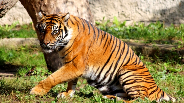 freephotosforcommercialuse.com- COOL ANIMALS-a picture of tiger