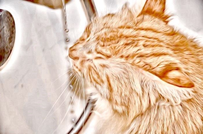 FreePhotosForCommercialUse.com-free-images-for-use-main-coon-cat