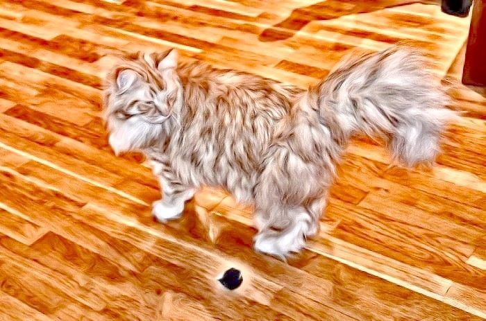 FreePhotosForCommercialUse.com-free-images-for-use-maine-coon-biggest-cat