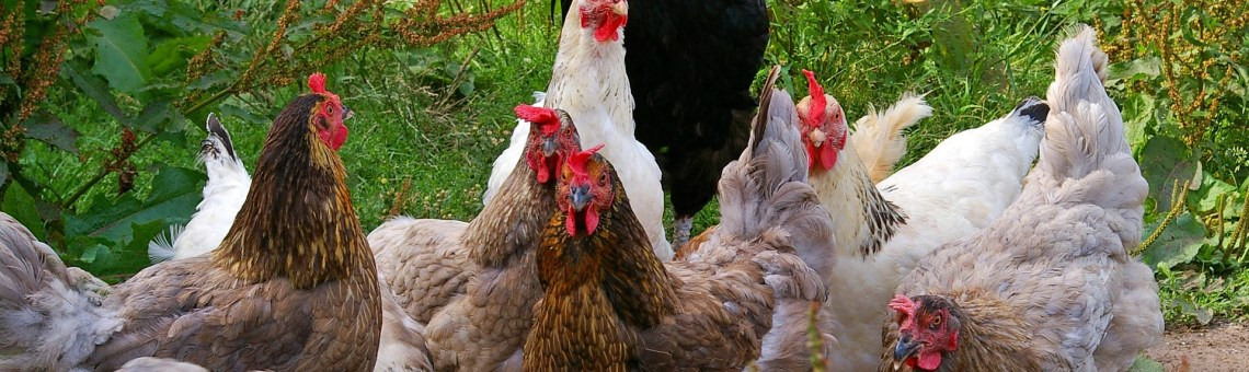 Chicken Care: Combining flocks