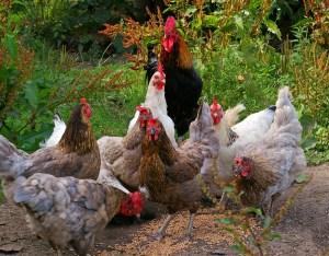 chickens-874512_1920