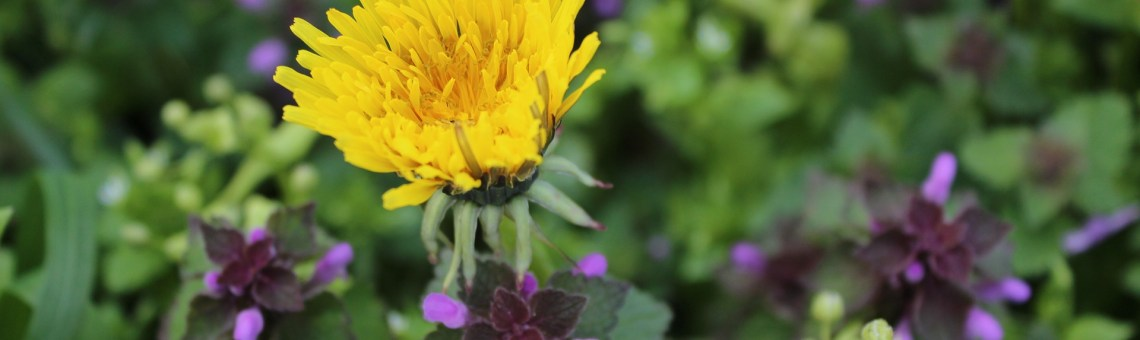 Herbs in your own backyard: Dandelion Root