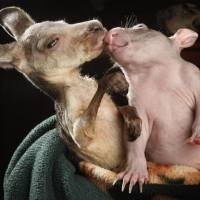 Famous Couple: Kangaroo and Wombat are Best Friends