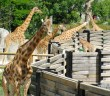 Giraffes at the Paris Zoological Park © French Moments