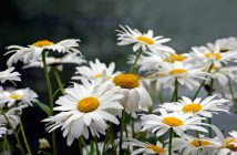 How do we call oxeye daisy in French? - Photo © French Moments