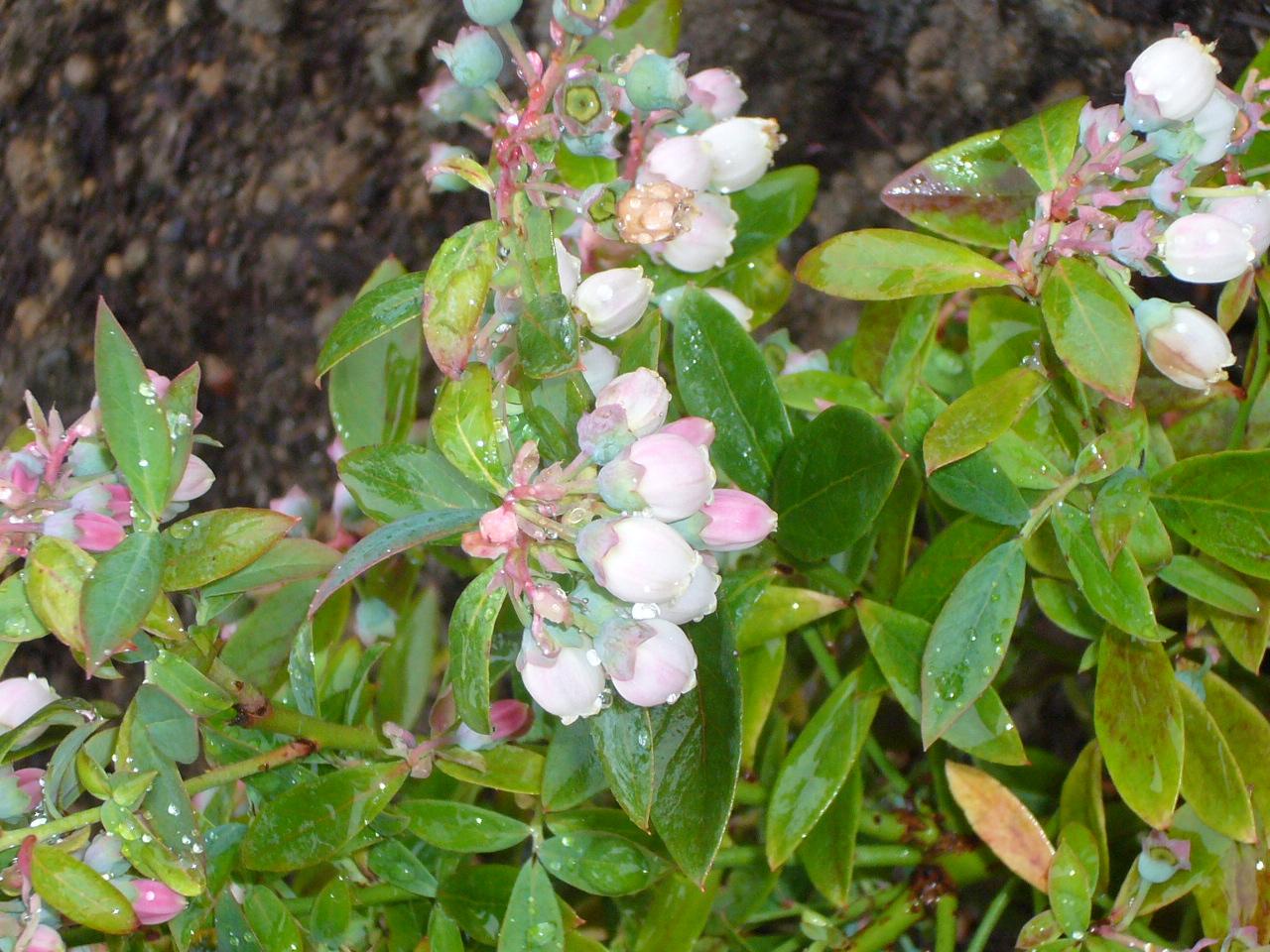 Congenial Vaccinium Evergreen Blueberry Evergreen Edibles Berries Fresh By Northwest Sunshine Blue Blueberry Bush Sunshine Blue Blueberry Plants Sale houzz-02 Sunshine Blue Blueberry