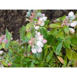 Small Crop Of Sunshine Blue Blueberry