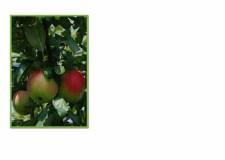 FC 521 apples